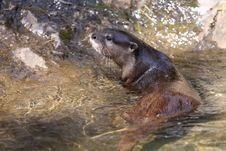 Free Oriental Small-clawed Otter Royalty Free Stock Photo - 19806025