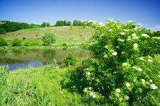 Shrub Of Lderflower And Nice River By Summer. Stock Image