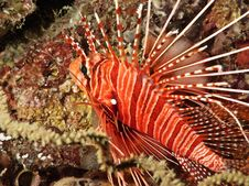Common Lionfish (close-up View) Stock Photo