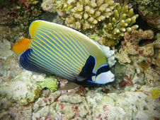 Free Fish : Emperor Angelfish Stock Image - 19806341