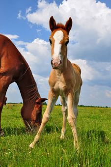 Free Foal With A Mare On A Summer Pasture Royalty Free Stock Photography - 19807787