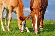 Free Foal With A Mare On A Summer Pasture Stock Photos - 19807793