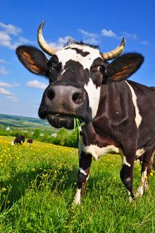 Free Cow On A Summer Pasture Royalty Free Stock Images - 19807999