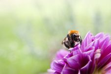 Bee Close Up Royalty Free Stock Images