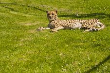 Free Leopard Royalty Free Stock Images - 19809479