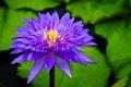 Free Purple Waterlily Stock Photo - 19810540