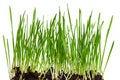 Free Wheat Grass Royalty Free Stock Photos - 19814888