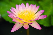 Free Pink Waterlily Royalty Free Stock Photography - 19810507