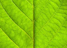 Free Green Leaf Texture Royalty Free Stock Photography - 19811317