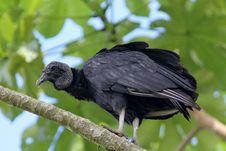 Free Black Vulture (Coragyps Atratusz) Stock Photography - 19811692