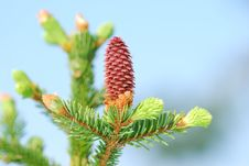 Free Red Pinecone, Springtime Stock Photography - 19811972