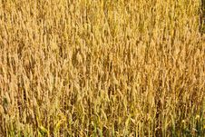Free Field Of Wheat Stock Images - 19812414