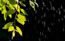 Free Branch In The Rain Stock Images - 19812924