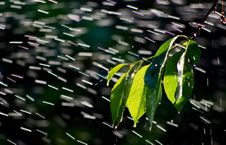 Free Branch In The Rain Royalty Free Stock Photos - 19812978