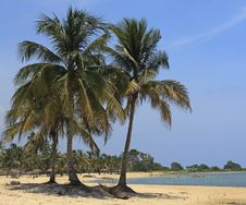 Coconut Palms On Caribbean Beach Stock Images