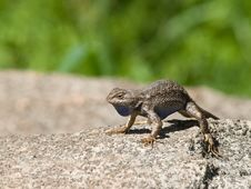 Free Western Fence Swift Lizard Stock Image - 19813791