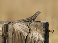 Free Western Fence Swift Lizard Royalty Free Stock Image - 19813806