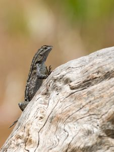 Free Western Fence Swift Lizard Royalty Free Stock Photo - 19813815