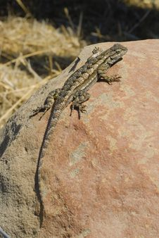 Free Western Fence Swift Lizard Royalty Free Stock Images - 19813829