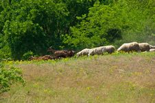 Free Herd Of Sheep And Goats Stock Image - 19814751