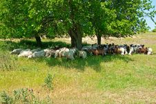 Free Herd Of Sheep And Goats Stock Photos - 19814813