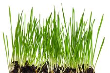 Free Wheat Grass Royalty Free Stock Photos - 19814888