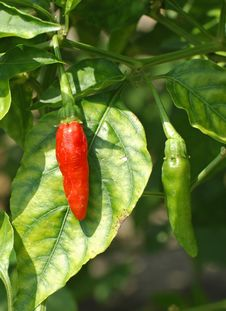 Free Red And Green Chili Royalty Free Stock Images - 19814939