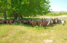 Free Herd Of Sheep And Goats Stock Image - 19814941