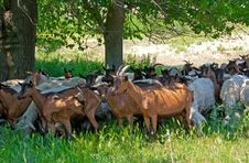 Free Herd Of Sheep And Goats Stock Photos - 19814993