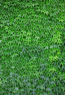 Free Green Leaf Background Stock Photography - 19815962