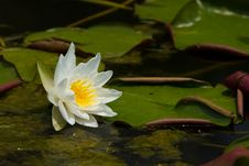 Free White Water Lily Stock Photography - 19816492