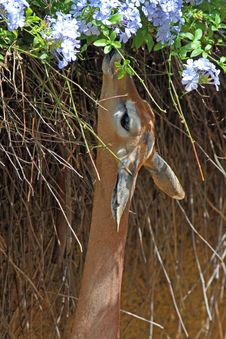 Free Gerenuk Royalty Free Stock Photos - 19817638