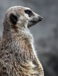 Free Meerkat Stock Photos - 19817713