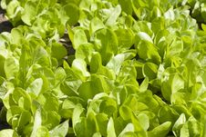 Free Lettuce Bed Stock Images - 19818044