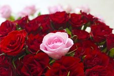 Free Red And Pink Roses Stock Images - 19818894