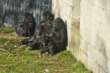 Free Bunch Of Gorillas Royalty Free Stock Image - 19819206