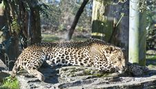 Leopard Sleeping Stock Photography