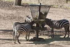 Free Zebras Eating Stock Photography - 19819252