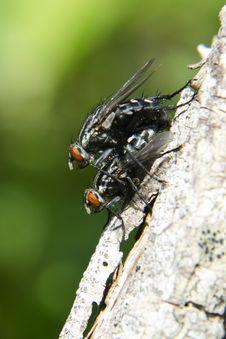 Free Flies Mating Royalty Free Stock Photos - 19819858