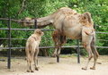 Free Camel Royalty Free Stock Image - 19824046