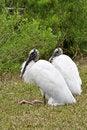 Free Wood Storks Stock Photo - 19828170