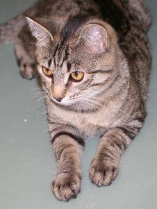 Free Cat Portrait Stock Photography - 19820312