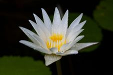 Free Raindrop On White Lotus Stock Photo - 19821120