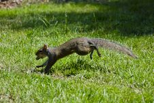 Free Gray Running Squirrel Royalty Free Stock Image - 19821196
