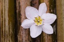 Amazon Lily White Flower On Bamboo Wood Royalty Free Stock Image