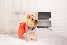 Free Yorkshire Terrier Stock Images - 19821874