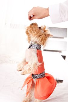 Free Yorkshire Terrier Royalty Free Stock Photos - 19821888