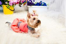 Free Yorkshire Terrier Royalty Free Stock Photography - 19821997