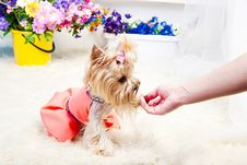 Free Yorkshire Terrier Royalty Free Stock Photography - 19822007