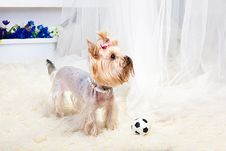 Free Yorkshire Terrier Royalty Free Stock Images - 19822019
